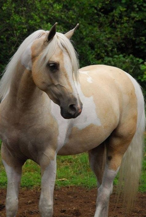palomino paint horses i you