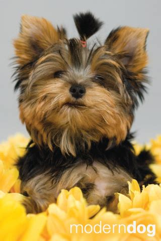 yorkie iphone yorkie puppies dogs wallpaper background description breeds picture