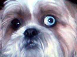 one eyed shih tzu what breeds blue