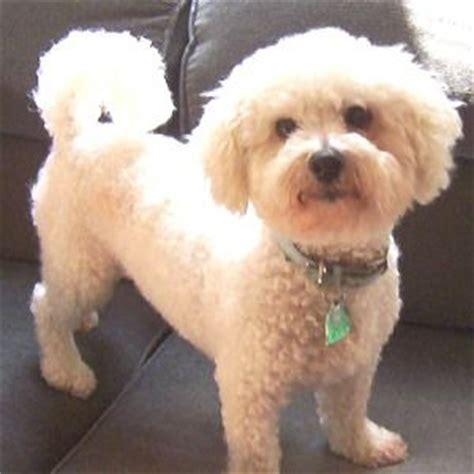 bichon frise puppy cut bichon frise puppy cut dogs