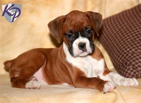 boxer puppies for sale pin mini boxer puppies for sale in michigan on