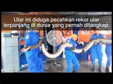 Multimeter Di Malaysia penemuan ular piton 250 kg sepanjang 8 meter di malaysia