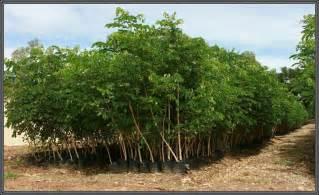 Jual Bibit Alpukat Bogor jual pohon trembesi harga murah bogor oleh azzahra flora