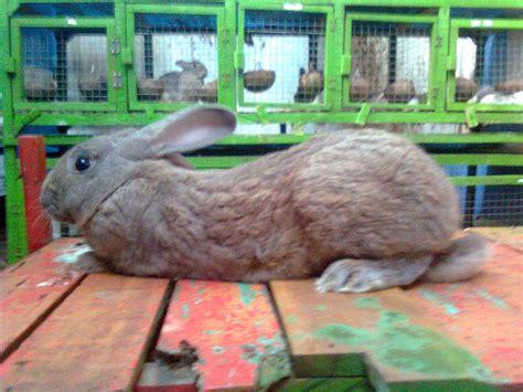 Harga Pakan Konsentrat Kelinci potensi ternak kelinci kelinci perkelincian rabbit rabbitry