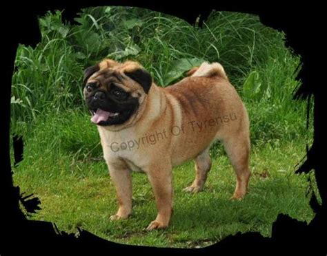 apricot pug for sale apricot pug boys now ready kenilworth warwickshire pets4homes