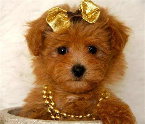 Maltipoo Shed by Maltipoo Dogs Ebay Breeds Picture