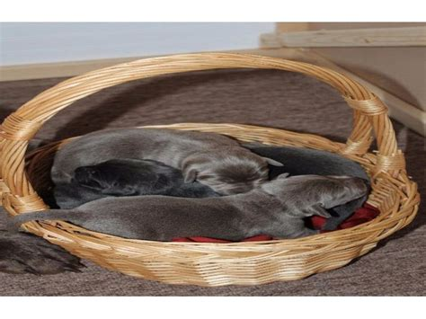 lab puppies for sale in idaho akc charcoal and silver lab puppies for sale animals malta idaho announcement