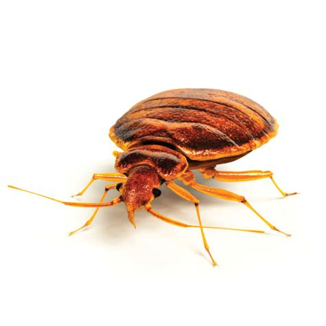 bed bugs seattle bed bugs prevention is better than cure cleankill pest