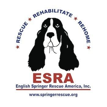 esra dermancioglu biography in english 25 best ideas about springer spaniel rescue on pinterest