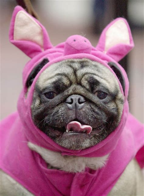 pig pug omg it s pugs in fancy dress