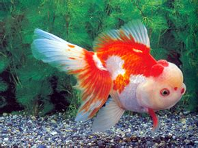 Benih Eceng Gondok budidaya ikan koki budidaya ikan