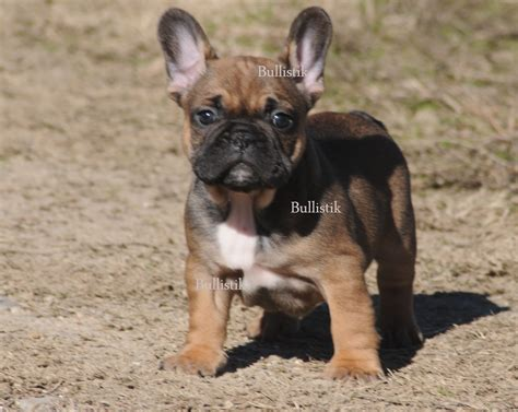 cheap bulldog puppies for sale in nc bulldog puppies for sale in paducah ky breed dogs spinningpetsyarn