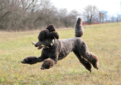 poodle cuts exles 746 best images about poodles on pinterest french