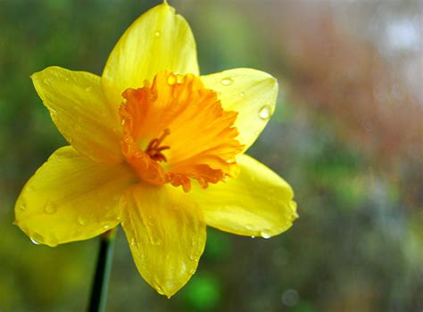 10 Most Beautiful Flowers You Can Grow by 5 Daffodil 10 Most Beautiful Flowers You Can Grow