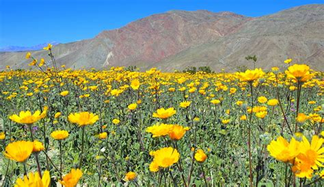 borrego desert flowers viewing desert blooms metal art at borrego springs