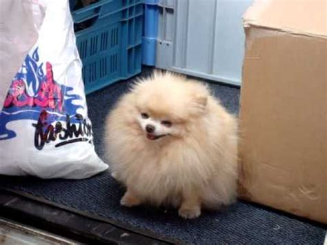 fluffiest pomeranian the cutest and fluffiest yellow pomeranian in europe