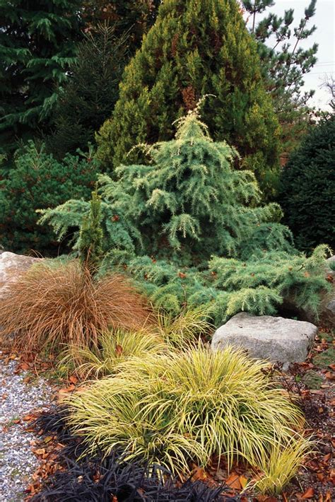 twisted conifer plant conifers pinterest