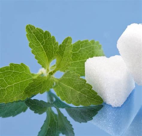 Benih Stevia bibit bunga benih daun stevia manis lazada indonesia