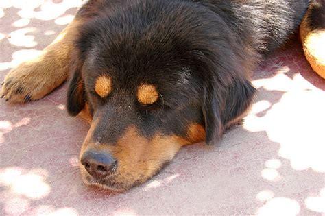 how much is a tibetan mastiff puppy how much does a tibetan mastiff cost howmuchisit org
