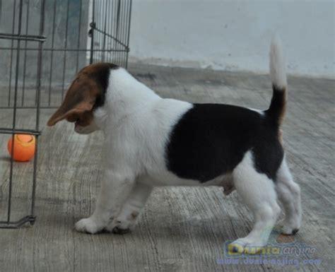 Dijual Avail Pantiliner Berkualitas dunia anjing jual anjing beagle jual beagle berkualitas harga ok