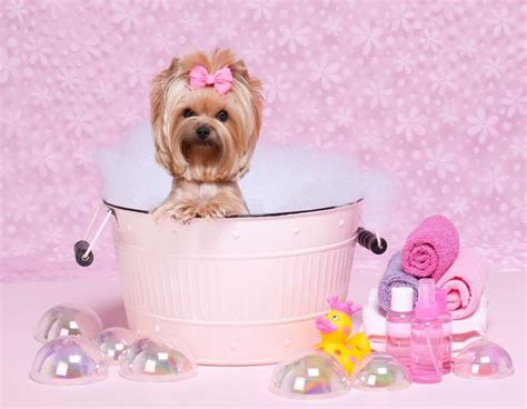 yorkies time yorkie bath time i pink