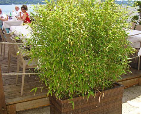 Sichtschutz Terrasse Bambus by Das Wachstum Und Die H 246 He Bambus Bambus Wissen Was