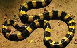 Garden Snake Xword Yellow Black Banded Snake Crossword Pictures To Pin On