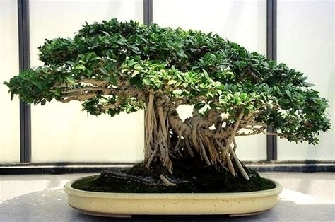 bonsai da appartamento coltivare bonsai di ficus retusa bonsai ficus bonsai