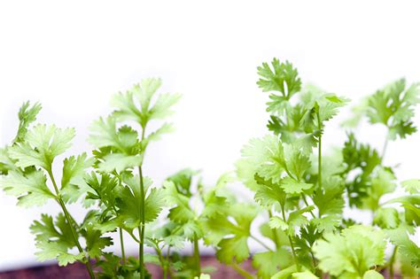 fresh planted herbs gastronomy pinterest fresh coriander plants over white free stock image