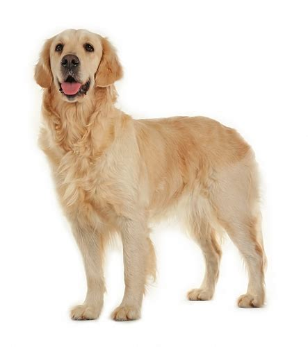 golden retriever hair length golden retriever breed information photos history and care advice