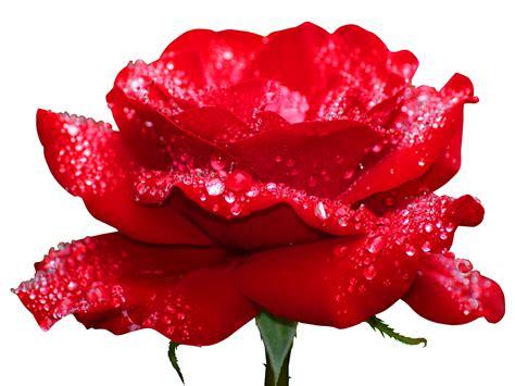 imagenes d flores rojas bunches corazones de rosas rojas png video con frases de