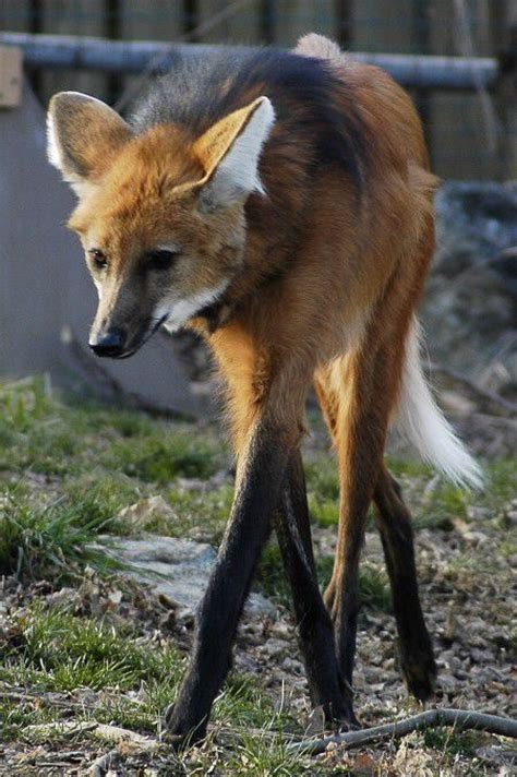 are foxes related to dogs the world s catalog of ideas