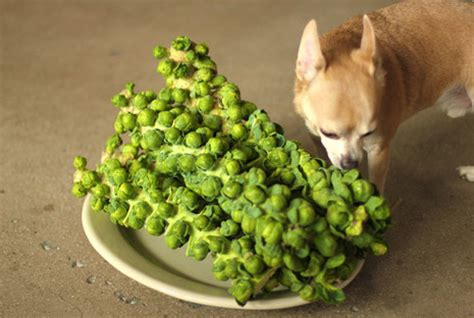 can dogs brussel sprouts can dogs eat brussel sprouts can dogs eat this