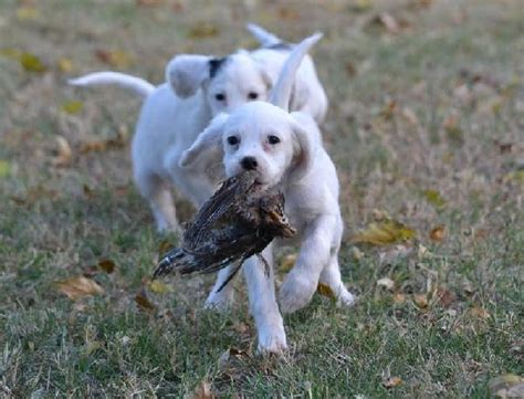 english setter finished dogs for sale female english setter puppies field bred
