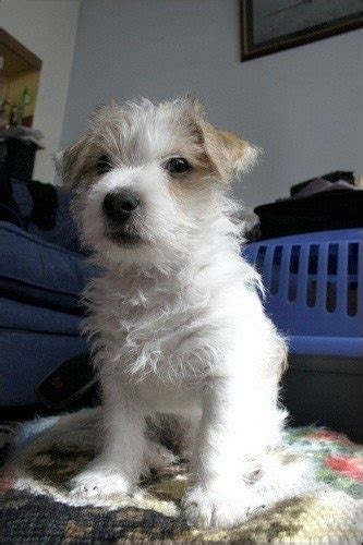 haircut ideas for long hair jack russell dogs 1000 ideas about jack russell puppies on pinterest jack