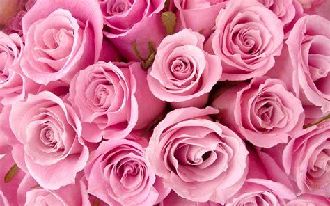 wallpaper flower pink rose pinkroseswallpaper flowers wallpaper 33624067 fanpop