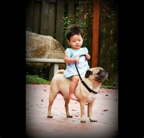 pug and baby baby rides pug like a you should feel happy you should feel happy