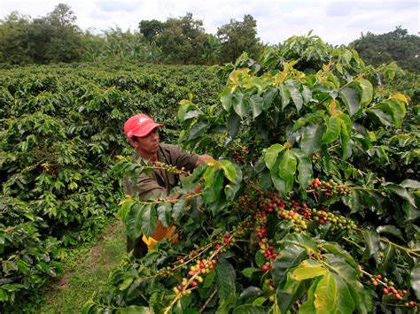 coffee plant wallpaper the last drop climate change may raise coffee prices