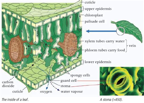plant cross section plant leaf cross section