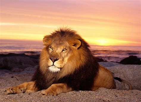 imagenes abstractas de leones image gallery imagenes de leone s