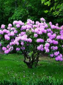 rhododendron for the garden pinterest