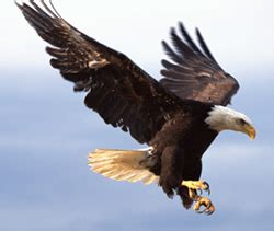 comfort eagle meaning the seven principles of an eagle mogere felix