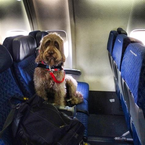 service dogs on planes meet gander a amongst dogs huffpost