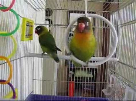 sangkar lovebird love birds singing youtube
