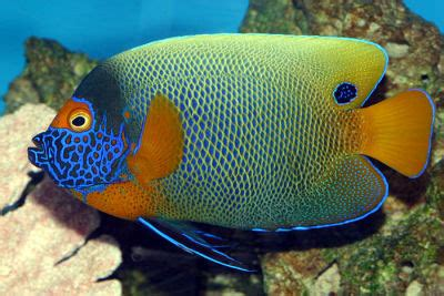 Banded Mask Gold blue faced angelfish yellow faced angelfish pomacanthus