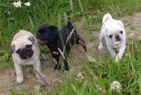 pug colors fawn fawn black and white pug puppies pugpugpug pugs white pug and