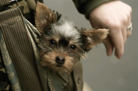 pocket yorkie puppies yorkie puppy in a pocket jpg hi res 720p hd