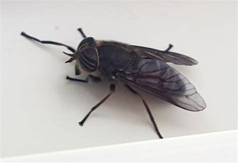 horse flies in house horse fly vs house fly www pixshark com images galleries with a bite