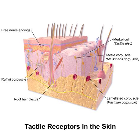a protein that thickens and waterproofs the skin is file blausen 0809 skin tactilereceptors png wikimedia