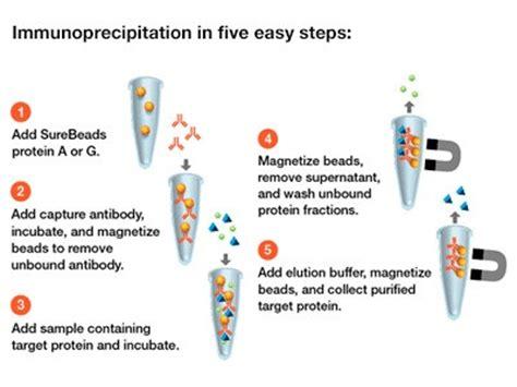 sepharose immunoprecipitation immunoprecipitation magnetic images